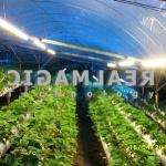 Strawberry AGRO-1